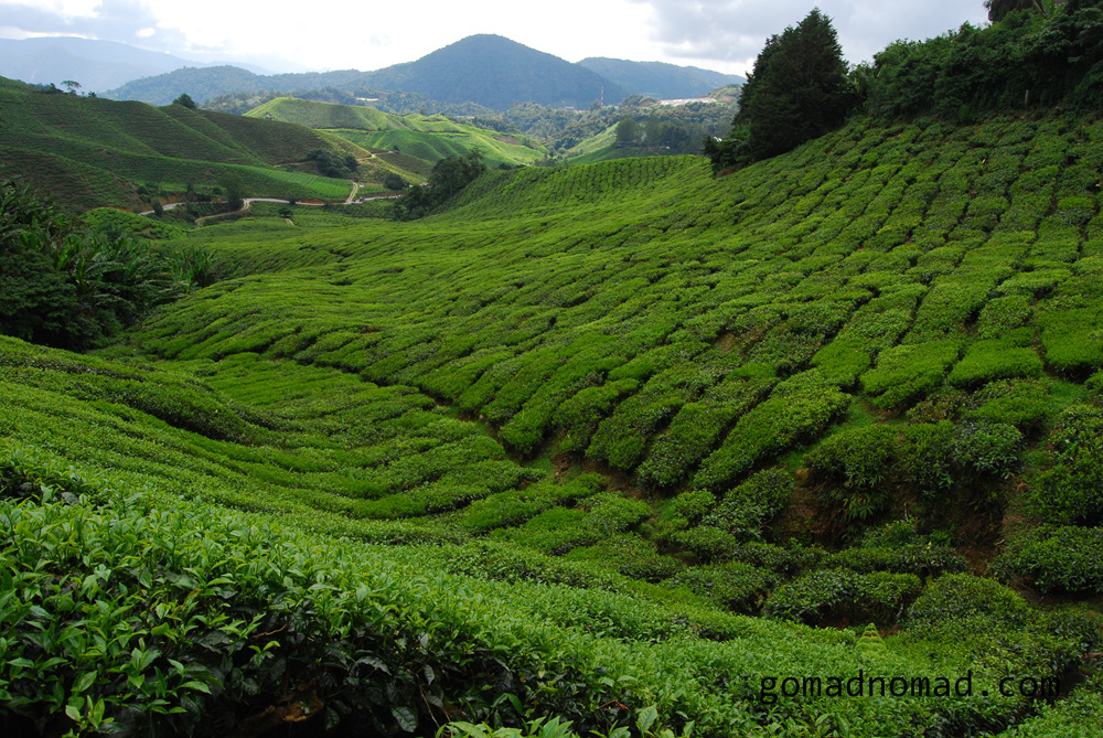Photo Of The Week Tea Field In The Cameron Highlands Malaysia