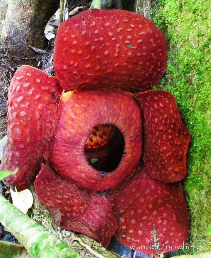 rafflesia flower borneo