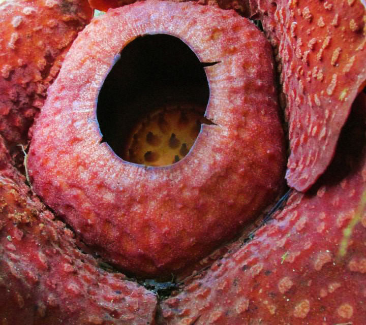 Photo of the Week: Rafflesia Flower of Borneo