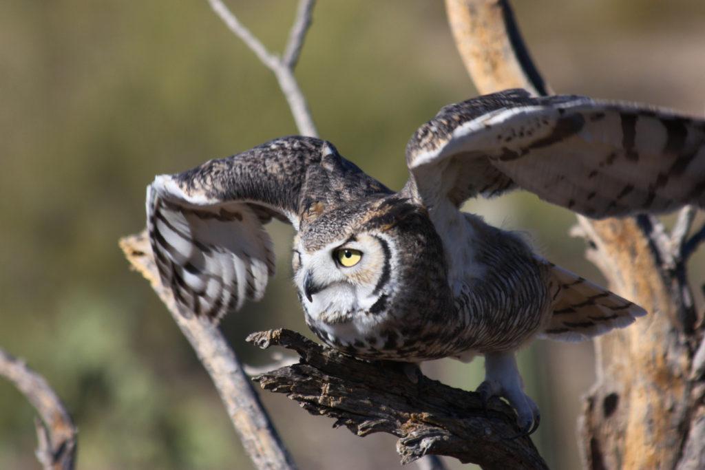 Horned Owl, Arizona-Sonora Desert Museum