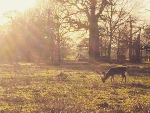 A deer grazing at Dunham Massey.