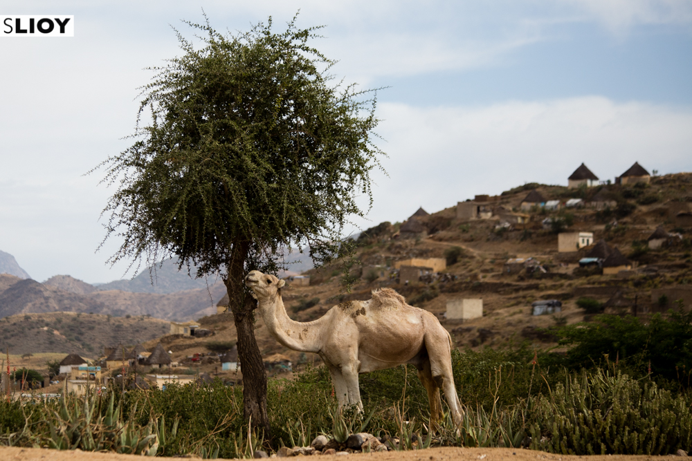 Keren Camel Market