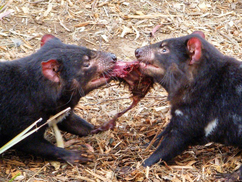 Tasmanian Devils feeding Bonorong top things to do in Hobart, Tasmania