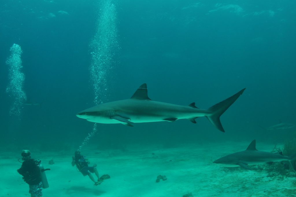 Best Places to Dive Ethically with Sharks